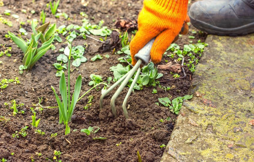 Hand female hoes weed in the garden, weeding grass, cleaning in the garden in spring